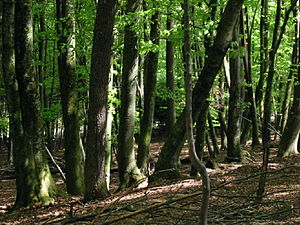 A deciduous broadleaf (Beech) forest in Slovenia.