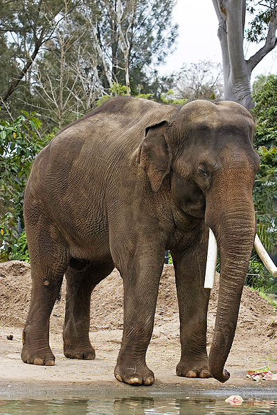 Elephas maximus, Melbourne Zoo, Melbourne, Victoria, Australia by Fir0002