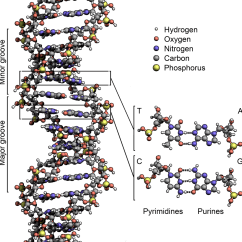 Chromosome Structure Diagram 2005 Jaguar X Type Radio Wiring Dna Wikipedia Den Frie Encyklopædi