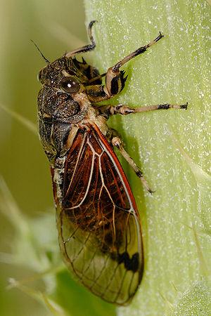 Diemeniana frenchi, an Australian species