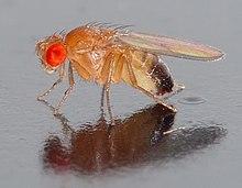 220px Drosophila melanogaster   side %28aka%29 - Pseudogenes Tipos y Caracteristicas