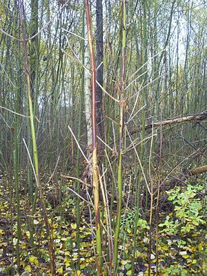 Phathological form of twigs of Fraxinus excels...