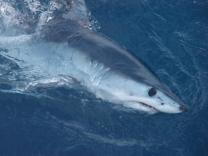 English: Shortfin mako shark (Isurus oxyrhinchus)