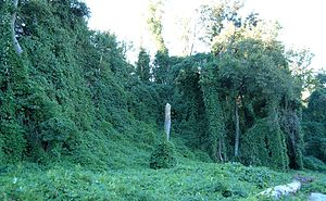 Kudzu on trees in Atlanta, Georgia, USA Locati...
