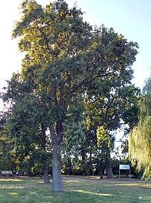 Imagini pentru stejar brumariu