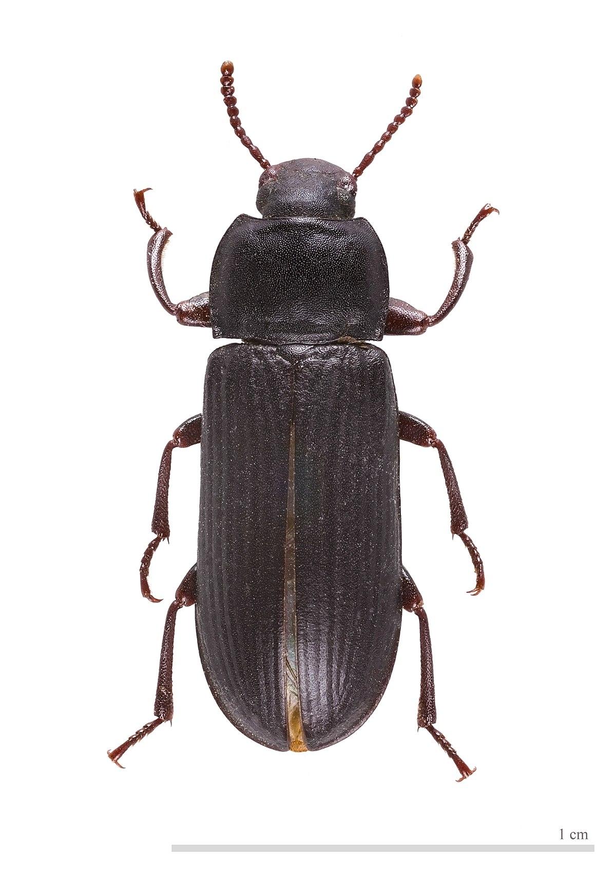Potato Bug Name : potato, Mealworm, Wikipedia
