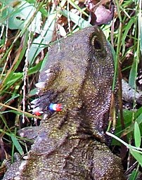 A marked tuatara at Karori Wildlife Sanctuary.