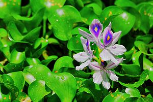 English: Water hyacinth
