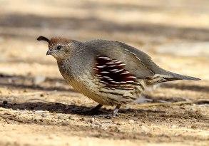 Observed near the Salton Sea, this female quai...