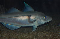 A picture of the fish Haddock from Wikipedia.