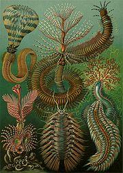 Kunstformen - plate 96: Chaetopoda
