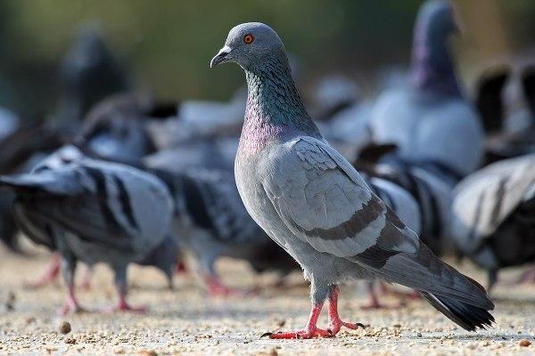 Feral Pigeon Columba Livia