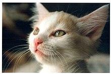 kitten wikipedia