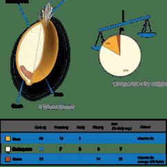 Grain Kernel Diagram 1981 Shovelhead Wiring Cereal Germ Wikipedia Wheat Nutrition Png