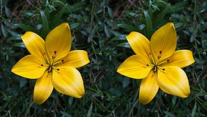 English: Asiatic hybrid lilium stereogram. To ...