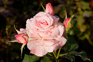 Bridal Pink, cultivated by Eugene Boerner in 1...