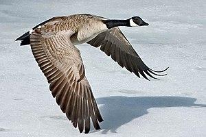 Canada-Goose-Szmurlo.