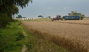 English: Collecting the grain. Harvesting whea...