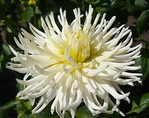English: Dahlia 'White Star'. Real Jardín Botá...
