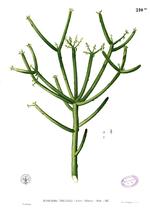 Tanaman Obat Patah Tulang : tanaman, patah, tulang, Patah, Tulang, (tumbuahan), Wikipedia, Minang