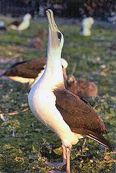 Burung Albatros : burung, albatros, Albatross, Simple, English, Wikipedia,, Encyclopedia
