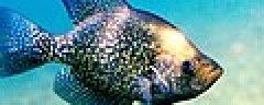 Pomoxis nigromaculatus1.jpg
