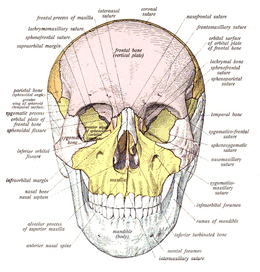 human skull bones diagram labeled gfs surf 90 wiring wikipedia from the front