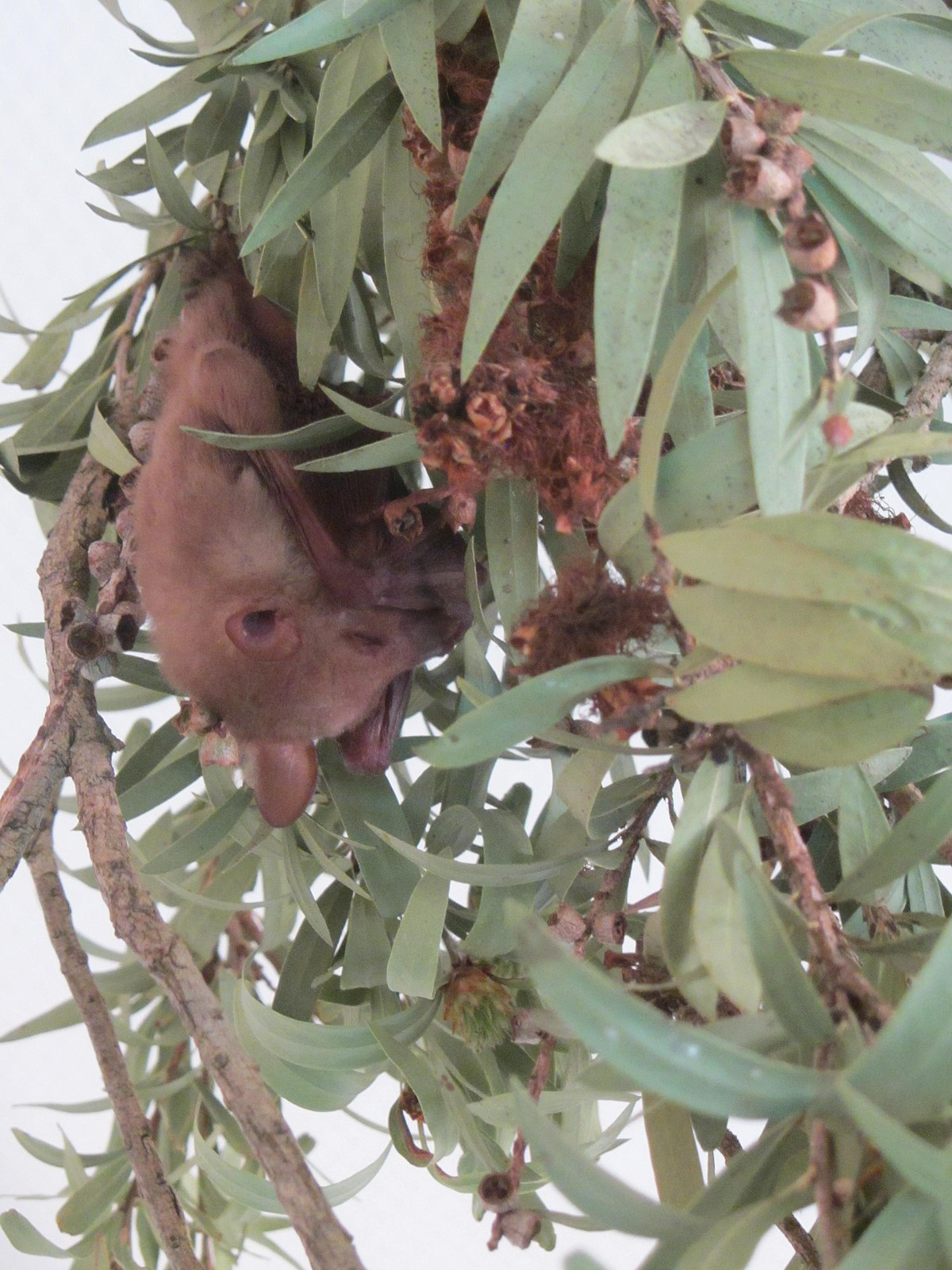Common blossom bat  Wikipedia