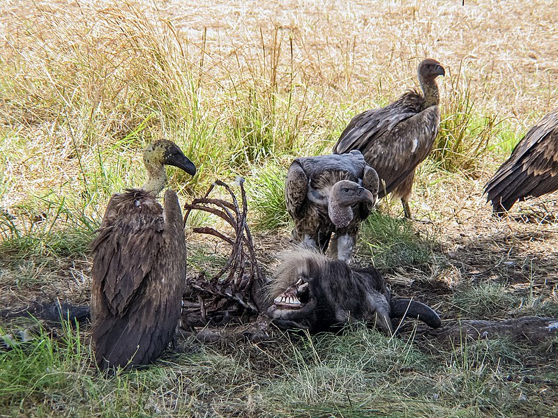 File:White-backed vultures eating a dead wildebeest.JPG