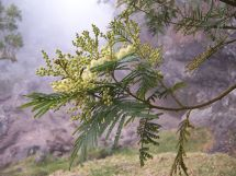 Acacia Cyperophylla - Year of Clean Water