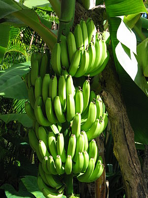 Bananas in Hawaii