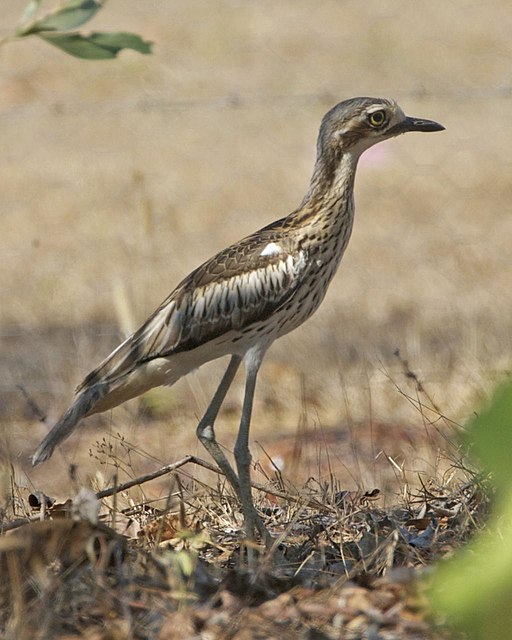 https://i0.wp.com/upload.wikimedia.org/wikipedia/commons/thumb/4/4f/Bush_Thick-knee_%28_Burhinus_grallarius%29_-_Flickr_-_Lip_Kee_%281%29.jpg/512px-Bush_Thick-knee_%28_Burhinus_grallarius%29_-_Flickr_-_Lip_Kee_%281%29.jpg