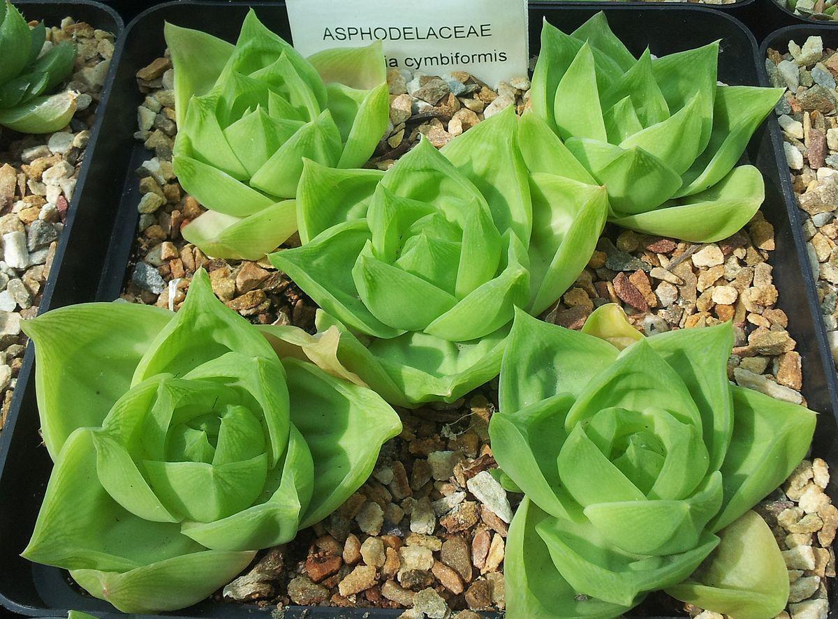 Haworthia cymbiformis  Wikipedia