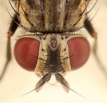 house fly anatomy diagram paragon timer 8145 20 wiring housefly wikipedia head of a female with two large compound eyes and three ocelli