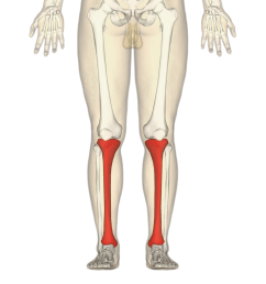 tibia frontal view [ 970 x 970 Pixel ]