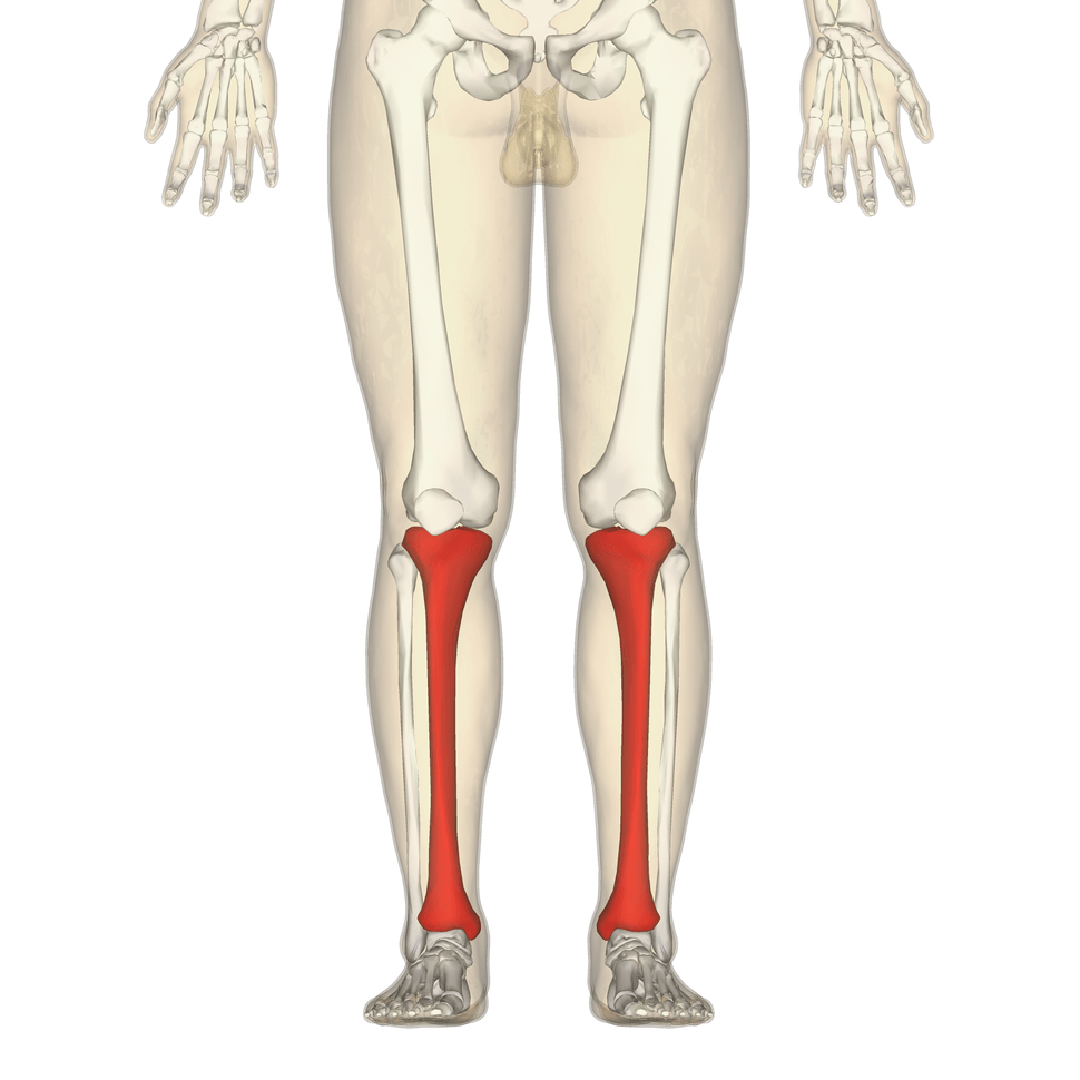 medium resolution of tibia frontal view