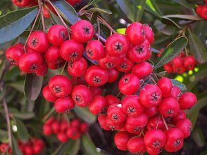Macro of pyracantha berries