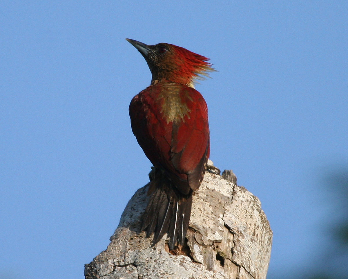 Banded woodpecker  Wikipedia