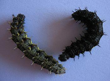 Butterfly Vulcan (Vanessa atalanta), larva for...