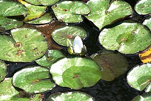 English: lily pads floating in a lake in Toron...