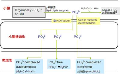 磷質 - 維基百科,自由的百科全書