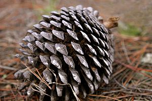 Pinus radiata Pine cone on forest floor