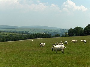 English: Sheep, Eden Brows. Woods descend to t...