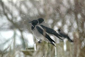 English: Snowy crows, Baltasound Hooded Crows ...