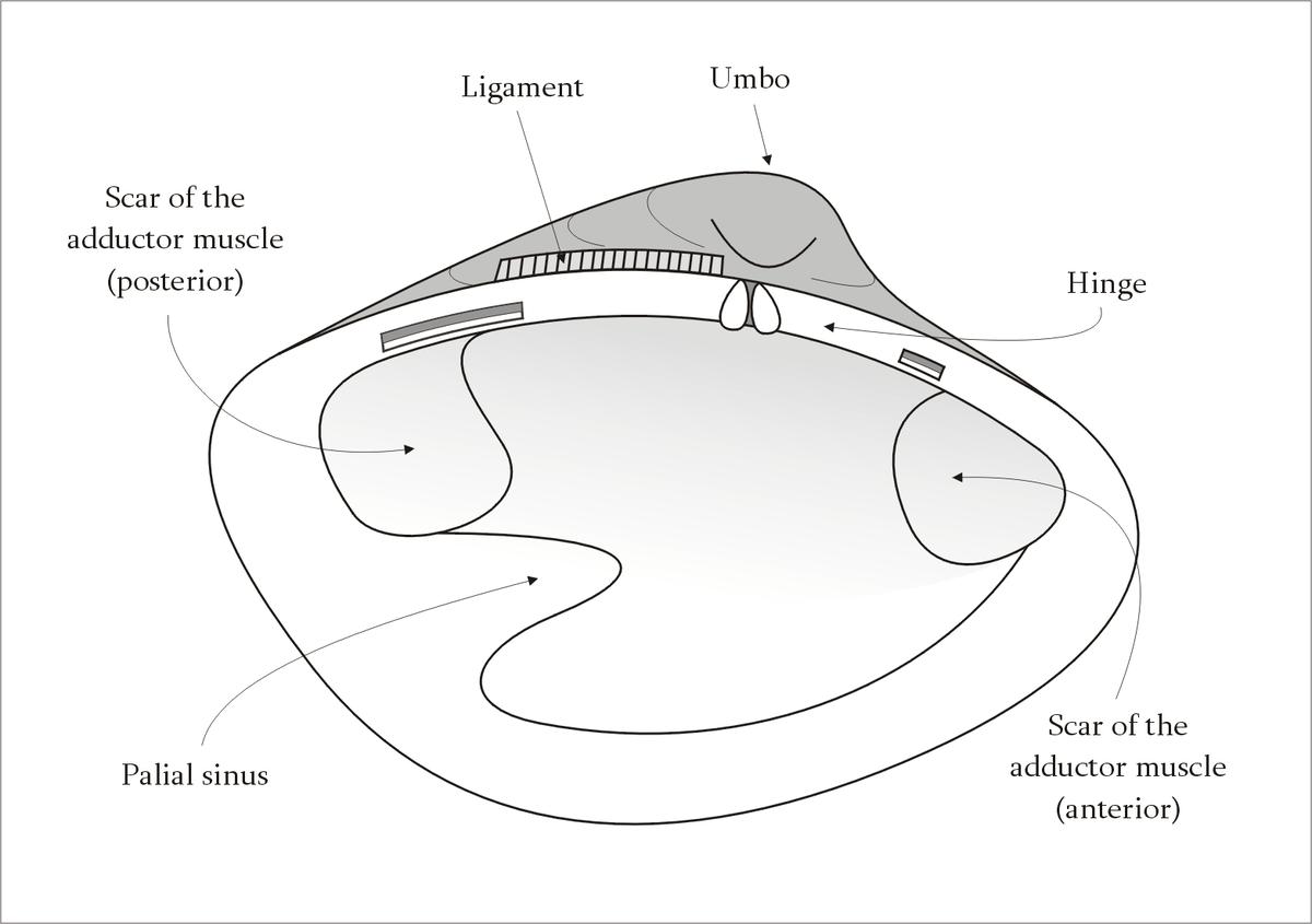 slug anatomy diagram speaker wiring dual voice coil pallial sinus wikipedia