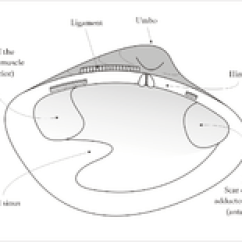 Mollusca Diagram Labeled Wiring For Electric Underfloor Heating Bivalvia Wikipedia Interior Of The Left Valve A Venerid