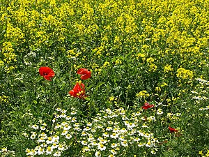 English: Wild Flowers in the Crop The rapeseed...
