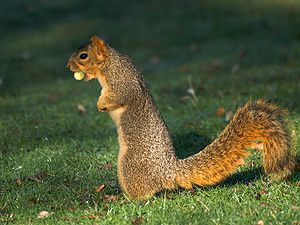 Lots of acorns this year, lots of squirrels.