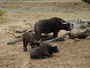 African buffalo at Wild Animal Park San Diego