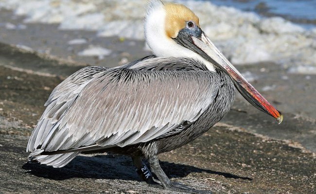 Brown Pelican Wikipedia